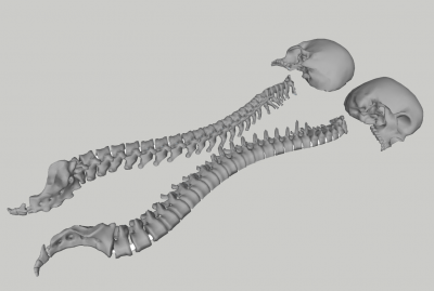skull spine half section with joins smoothed.png